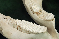Elephant jaw. Found in museum Stock Image