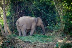 Elephant in the junge of Laos. Outside of Luang Prabang. Save the Elephants. Elephant stands calm in the forest. Midday Sun comes trough the Jungle stock photo