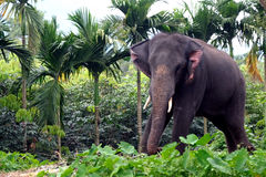 Elephant in jungle. Elephant 39 years old in Indian jungle Royalty Free Stock Image