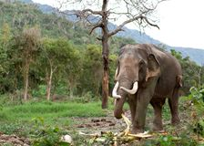 Elephant in the jungle royalty free stock photo