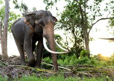 Elephant in the jungle royalty free stock photos