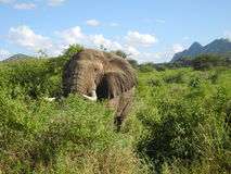 Elephant in the jungle. Picture of an elephant during safari Royalty Free Stock Image
