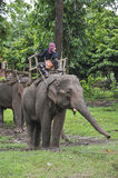 Elephant jungle tour Royalty Free Stock Photo