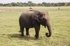 An elephant in Kaudulla National Park. An elephant in Kaudulla National Park, Sri Lanka stock photos