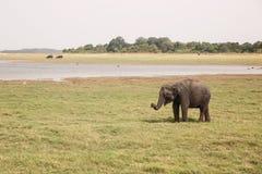 An elephant in Kaudulla National Park. An elephant in Kaudulla National Park, Sri Lanka. Safari for tourists stock photo