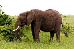 The Elephant in Kenya Stock Image