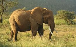 Elephant in Kenya Stock Photos