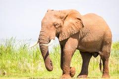 Elephant in Kenya, Africa Royalty Free Stock Image