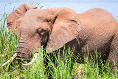 Elephant in Kenya, Africa Stock Photo