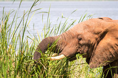 Elephant in Kenya, Africa Stock Image