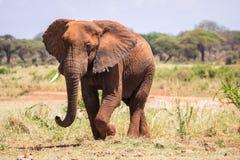 Elephant in Kenya, Africa Royalty Free Stock Photography
