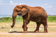 Elephant in Kenya, Africa Royalty Free Stock Photo