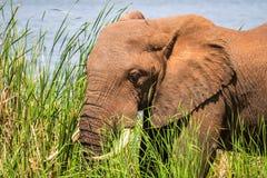 Elephant in Kenya, Africa Royalty Free Stock Photos