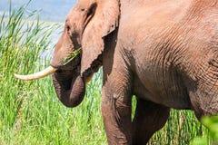 Elephant in Kenya, Africa Royalty Free Stock Images