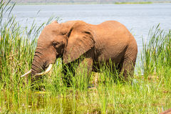 Elephant in Kenya, Africa Stock Photos