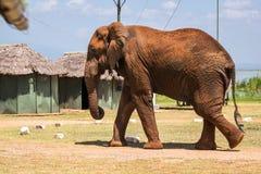 Elephant in Kenya, Africa Stock Photography