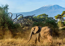 Elephant in Kenya with Kilimanjaro mount in the background, Afr Royalty Free Stock Image