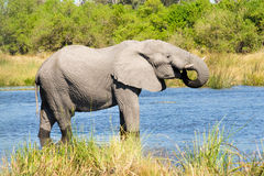 Elephant in Khwai River, Botswana. Elephant drinks from Khwai River in Botswana Stock Photos