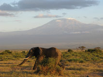 Elephant at Kilimanjaro Stock Images