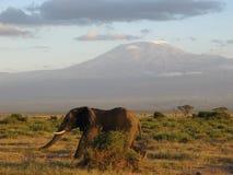 Elephant at Kilimanjaro. A lone elephant strides across the plain in front of Mount Kilimanjaro, Kenya Stock Images