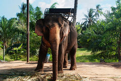 Elephant Koh Samui Royalty Free Stock Photo