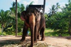 Elephant Koh Samui. An elephant at an Elephant park in Koh Samui, Thailand royalty free stock photo