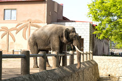The elephant in the Korea Central Zoo. Pyongyang, DPRK - North Korea. The elephant in the Korea Central Zoo. April 30, 2017. Pyongyang, DPRK - North Korea Stock Photo