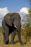 An elephant in the Kruger National Park. A solitary elephant in the Kruger National Park, South Africa Stock Photo