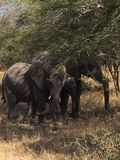 Elephant. Kruger national park Stock Photography