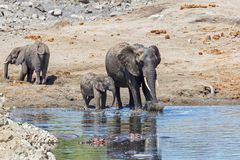 Elephant in Kruger National Park. Mother and child. Female elephant with her calf playing in Sweni waterhole with hippo in the water in Kruger National Park in stock photos