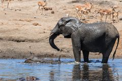 Elephant in Kruger National Park. Mother and child. Female elephant with her calf playing in Sweni waterhole with hippo in the water in Kruger National Park in stock image