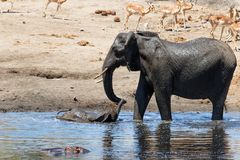 Elephant in Kruger National Park. Mother and child. Female elephant with her calf playing in Sweni waterhole with hippo in the water in Kruger National Park in royalty free stock images