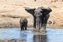 Elephant in Kruger National Park. Mother and child. Female elephant with her calf playing in Sweni waterhole with hippo in the water in Kruger National Park in royalty free stock image