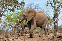 Elephant in Kruger national park,South Africa Royalty Free Stock Photo