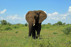 Elephant at Kruger National Park South Africa Royalty Free Stock Image