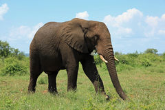 Elephant at Kruger National Park South Africa Stock Images