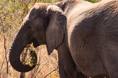Elephant in Kruger National Park, South Africa. Stock Photography