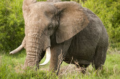 Elephant in Kruger Park Stock Photography