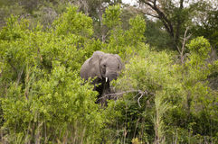 Elephant in Kruger Park Stock Photos