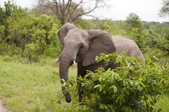 Elephant in Kruger Park Stock Photo