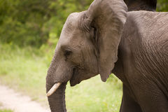 Elephant in Kruger Park Stock Images