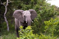 Elephant in Kruger Park Stock Image