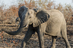 Elephant in Kruger Park South Africa Stock Image