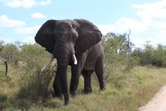 Elephant in Krugerpark South Africa. An elephant Krugerpark South Africa says hallo Royalty Free Stock Image