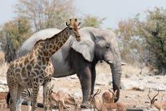 Animals of Etosha Stock Photography
