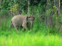 Elephant, Kuiburi national park, Thailand Royalty Free Stock Photo