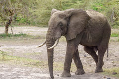Elephant in lake Manyara Stock Image