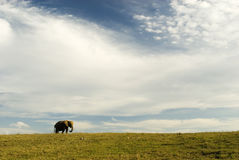 Elephant, Land and Sky. Lone elephant walking along grasslands Stock Image