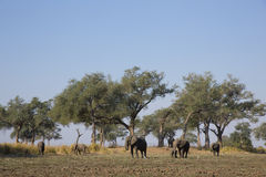 Elephant landscape. African Elephant herd in a tree landscape Stock Photo