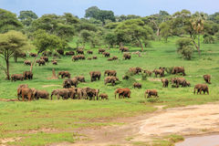 Elephants Tanzania. African elephants in Tarangire National Park Tanzania on green grass savanna, Tanzania Royalty Free Stock Photo